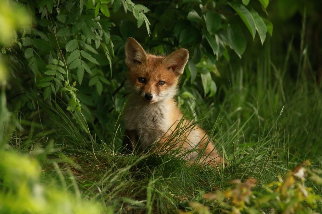 Der kleine Fuchs in seinem natürlichen Umfeld